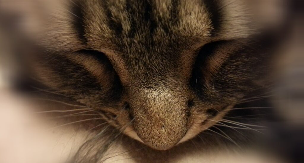 Photo of sleeping Isis, a beige and brown striped cat.