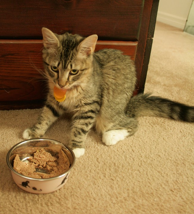 Image of a beige and brown six month old kitten in front of her dish with white tipped paws and fluffy tail.